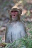 резус macaque Стоковая Фотография RF