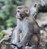 резус macaque meditating Стоковая Фотография