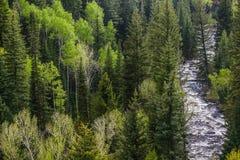 Река в соснах Стоковые Фотографии RF