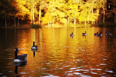 Река гусынь Стоковая Фотография