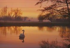 Река лебедя Стоковое Изображение