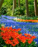 Река живых голубых виноградных гиацинтов muscari и красных тюльпанов на садах Keukenhof, Lisse, южной Голландии стоковые изображения rf