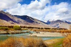 река лошадей стоковое изображение rf