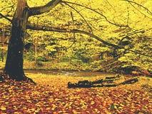 Река осени Красочный речной берег осени на быстром потоке, под золотыми старыми деревьями Стоковая Фотография