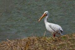Река пеликана Стоковое Изображение
