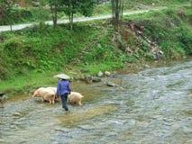 река свиньи скрещивания Стоковые Изображения