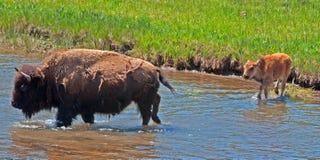 Река скрещивания коровы буйвола бизона с икрой в национальном парке Йеллоустона Стоковая Фотография