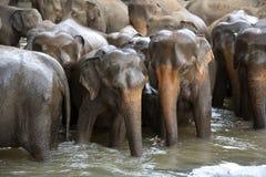 река табуна слона Стоковые Фото