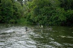 Река Bentota Птицы на ветвях упаденного дерева Стоковая Фотография