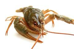 река crayfish Стоковое Изображение