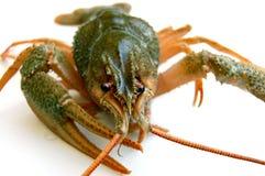 река crayfish Стоковые Изображения RF
