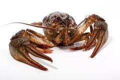 река crayfish стоковая фотография rf