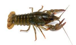 река crayfish Стоковое фото RF