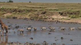 Река mara скрещивания зебр видеоматериал