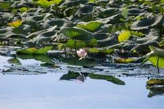 Река Mincio в Mantua с много листьев зеленого цвета цветка лотоса, Италии Стоковое Изображение