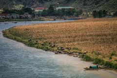 Река Phong Nha, индийские буйволы наслаждаясь освежая погружением, северным центральным побережьем, Вьетнамом Стоковые Фото