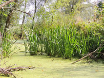 Река Rushy и duckweed стоковые фотографии rf