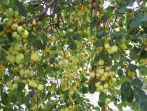 Рекордный урожай Crabapples начиная созреть стоковая фотография rf