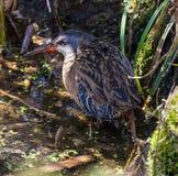 Рельс Вирджинии в окружающей среде заболоченных мест Стоковые Фото