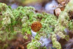 Рему Брайна на ветви спруса зеленого цвета Стоковая Фотография