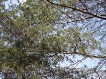 Рему на ветвях сосны Стоковые Фото