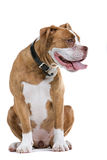 ренессанс собаки бульдога стоковые фото