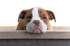 ренессанс собаки бульдога Стоковое фото RF