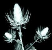 Рентгенизируйте изображение цветка изолированного на черноте, падуба моря Стоковое фото RF