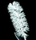 Рентгенизируйте изображение цветка на черноте, гиацинта Стоковые Изображения RF