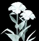 Рентгенизируйте изображение цветка на черноте, coxcomb Стоковые Изображения