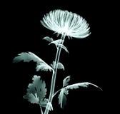 Рентгенизируйте цветок изолированный на черноте, хризантему изображения помпона Стоковая Фотография RF