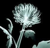 Рентгенизируйте цветок изолированный на черноте, хризантему изображения помпона Стоковое фото RF