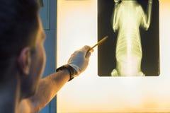Рентгенограмма любимчика ветеринарного доктора рассматривая Стоковая Фотография