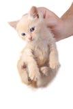 репрессированный котенок Стоковое Изображение RF