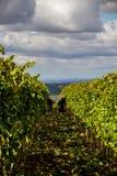 Республика южная Моравия проверки - виноградники виноградин стоковая фотография