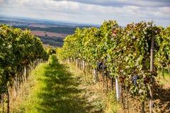 Республика южная Моравия проверки - виноградники виноградин стоковое изображение rf