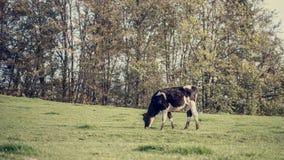 Ретро изображение черно-белой молочной коровы есть травы Стоковые Фото