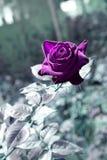 Ретро роза пурпура в саде Стоковая Фотография RF