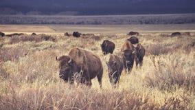 Ретро тонизированный табун американского бизона пася в грандиозном Teton стоковая фотография
