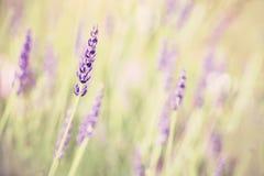 Ретро тонизированный цветок лаванды, малая глубина поля Стоковое Изображение