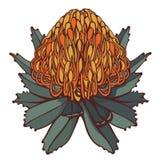 Ретро цветок Protea изолированный на белом векторе предпосылки Стоковые Изображения