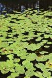 речная вода лилии Стоковые Фото