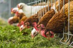 решетка фермы цыпленка младенца сверх Стоковое фото RF