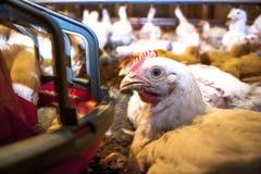 решетка фермы цыпленка младенца сверх стоковые фотографии rf