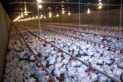 решетка фермы цыпленка младенца сверх стоковая фотография rf