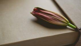 Релаксация утра и уютное с pre зацветая красным цветом lilly на темноте Стоковая Фотография