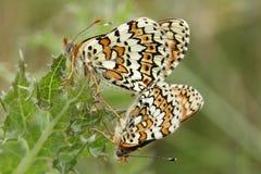 Редкая сопрягая пара cinxia Melitaea бабочек рябчика Glanville нашла на материке Британии Стоковое фото RF