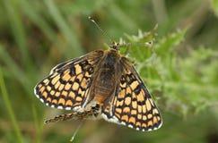 Редкая сопрягая пара cinxia Melitaea бабочек рябчика Glanville нашла на материке Британии Стоковые Фото