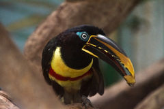 Редкие джунгли Toucan стоковые фото