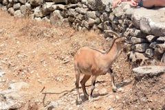 Редкий вид козы на острове Крита вызвал kri kri Стоковое Фото